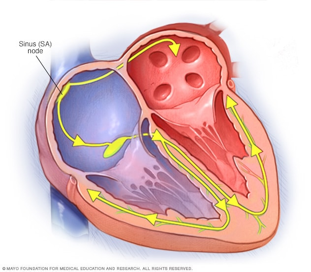 Illustration showing the conduction system of the heart