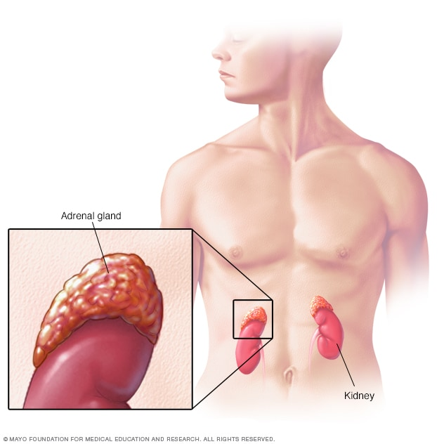 Illustration showing adrenal glands