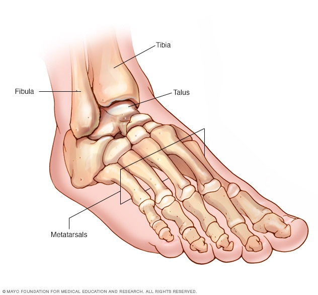 Illustration showing foot and ankle bones