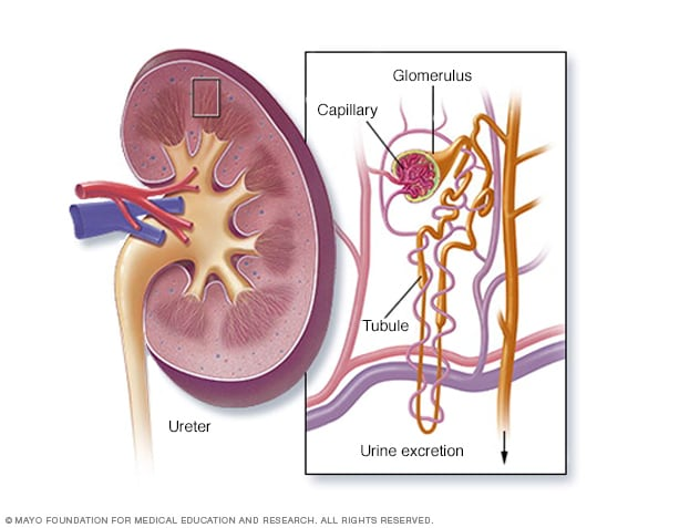 Kidney cross section