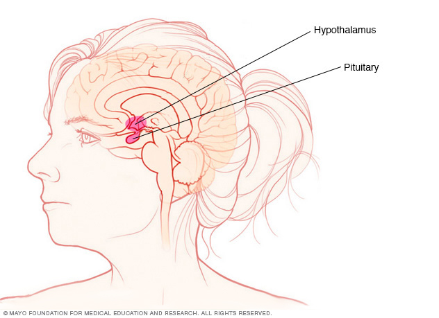 Illustration showing pituitary gland and hypothalamus