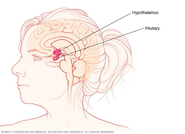 Pituitary gland and hypothalamus
