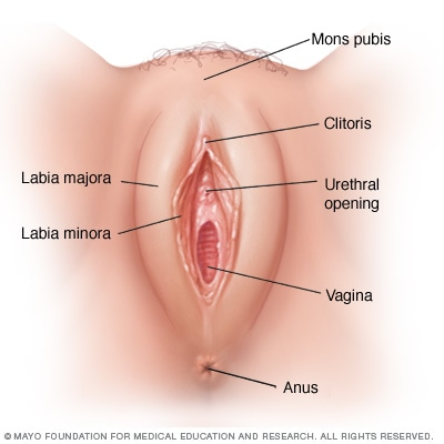 Illustration showing the vulva