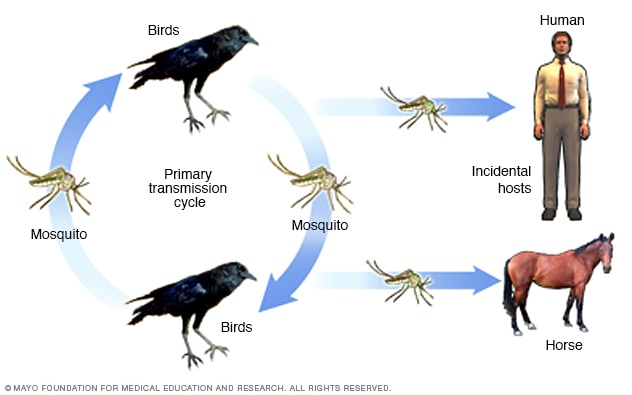 Illustration of West Nile virus transmission cycle