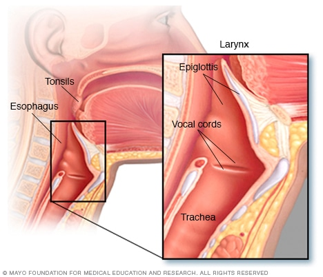 Illustration of the anatomy of the throat
