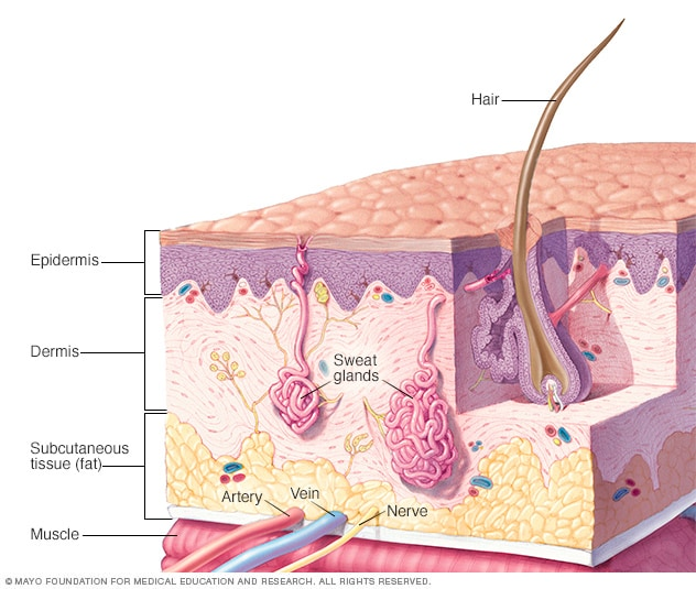 Cutaway illustration of the layers of the skin