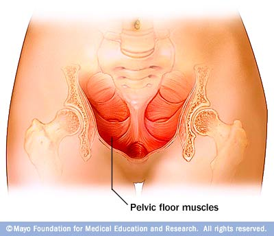 Illustration of pelvic floor muscles