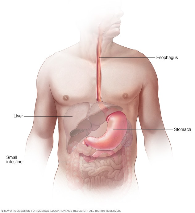 Illustration of the esophagus