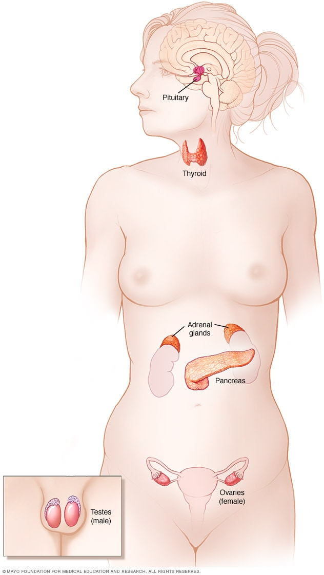 Illustration showing endocrine system