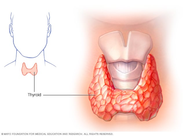 Illustration of thyroid gland showing larynx and trachea