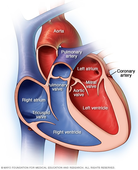 Image of chambers and valves of the heart