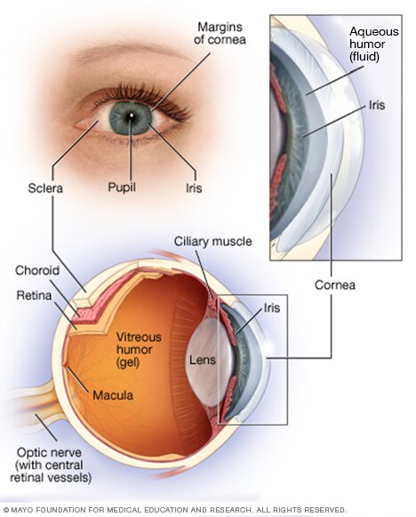 Illustration showing anatomy of the eye