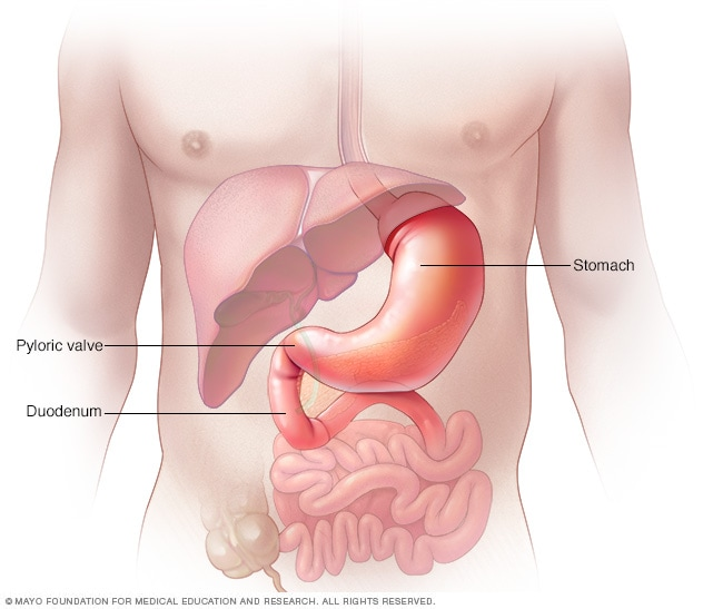 Illustration of pyloric valve, stomach and upper part of small intestine (duodenum)
