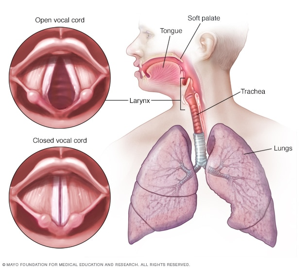 Illustration showing vocal cords