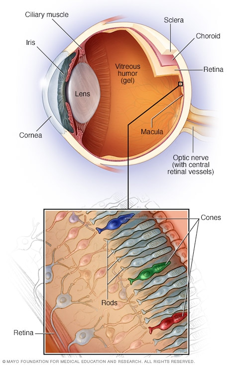 Illustration showing parts of the inner eye