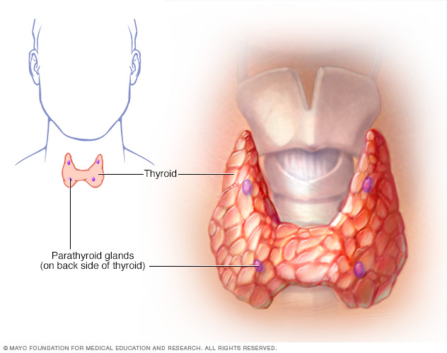 Illustration showing parathyroid glands