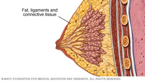 Illustration showing fat, ligaments and connective tissue in the breast