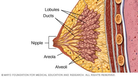 Illustration showing lobules, ducts and other breast structures