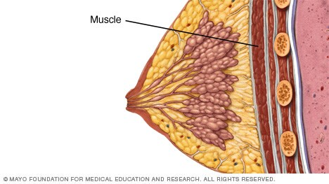 Illustration showing muscle underneath the breast