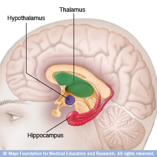 Illustration of thalamus, hypothalamus and hippocampus