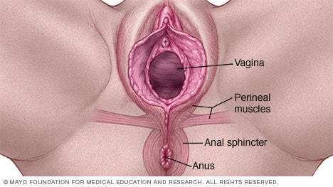 Illustration of a vagina and anus