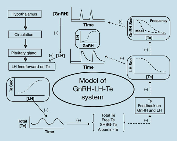 Illustration of the analytical construct of Gn-RH-LH-Te axis