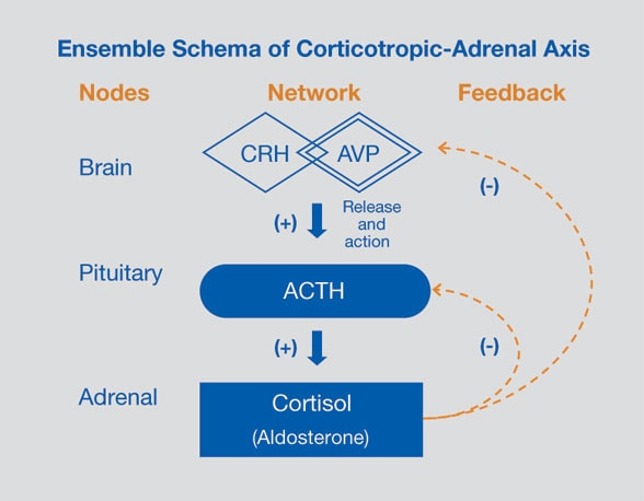 Diagram of ensemble schema of cortico-tropic adrenal axis