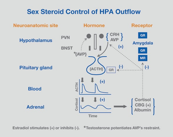 Diagram of sex steroid control of HPA outflow