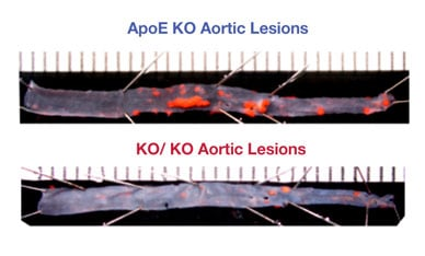 Image of aortas from mice with ApoE KO and KO/KO after high-fat diet
