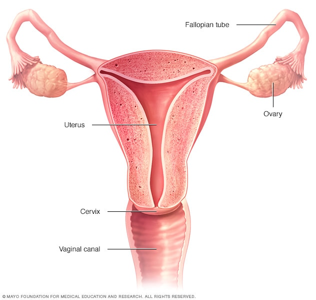 Illustration showing female reproductive organs
