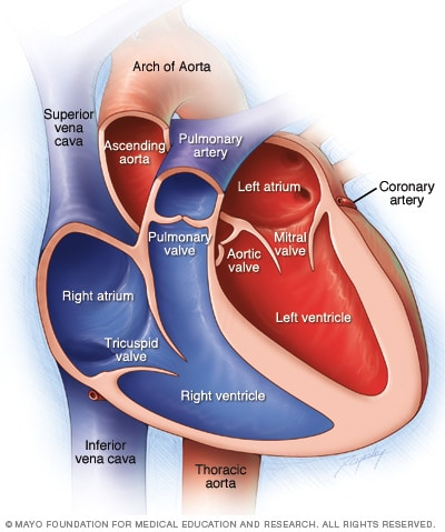 Illustration showing chambers and valves of the heart
