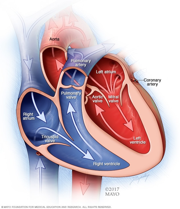 Illustration of chambers and valves of the heart